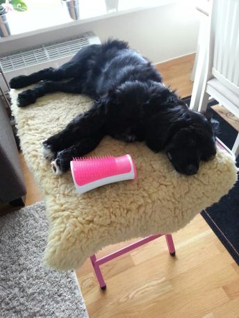 What Frigg thinks about bein groomed.... Zzzz (Here as a puppy)