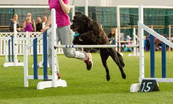 Frigg competing in agility